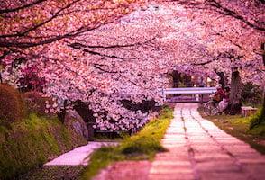 Ohanami, o la admiración de las flores de cerezo